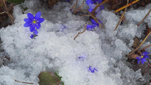 Wild flowers in the forest appear from under the snow.... Stock Video Footage