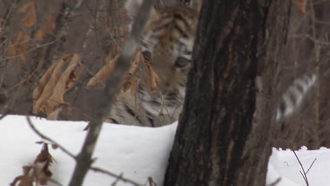 Amur tiger in the natural habitat Live Action