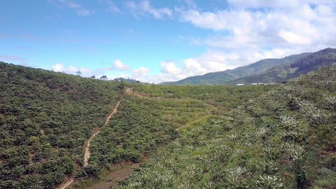 Coffee Trees in Blossom on Hill Slopes Panoramic View ビデオ