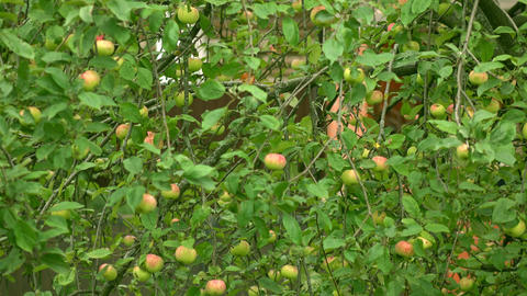 Apple tree with green and red apples 4K long shot Footage