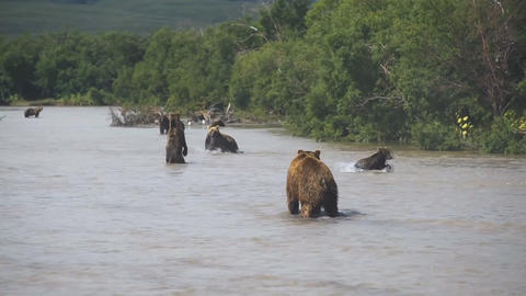 Peninsula of Kamchatka, Russia. Kamchatka brown bears frolic in the river Footage