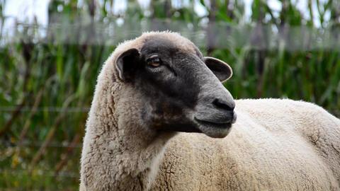 Lamb farm animal Footage