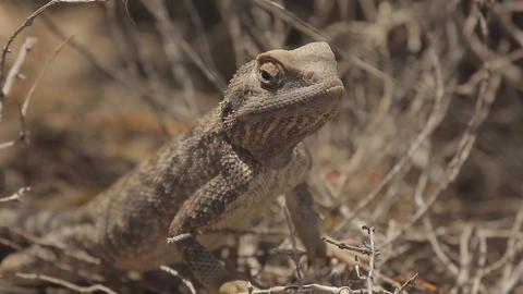 Steppe lizard close-up Live Action