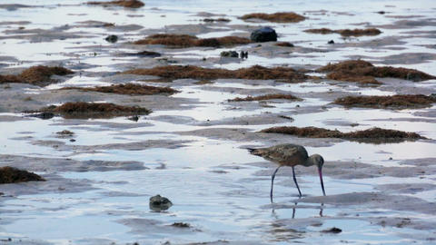Sandpiper on the Beach Stock Video Footage