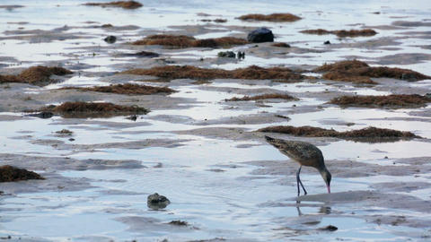 Sandpiper on the Beach Live Action