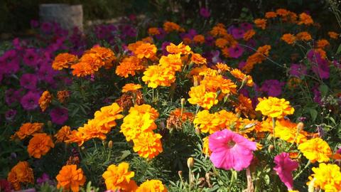 Orange Flowers 02 Stock Video Footage