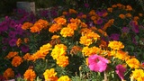 Orange Flowers 02 Footage