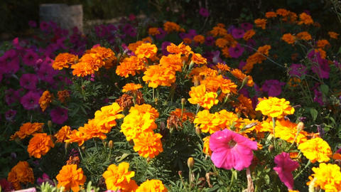 Orange Flowers 02 Stock Video Footage