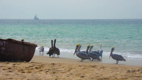 Group of Pelicans Stock Video Footage