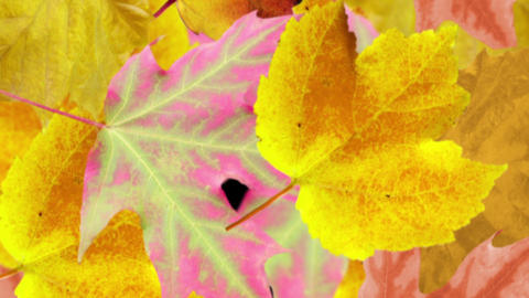 Autumn leaves background. Loop Animation