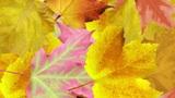 Autumn leaves background. Loop Animation
