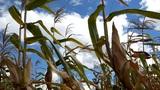 sugar cane Footage