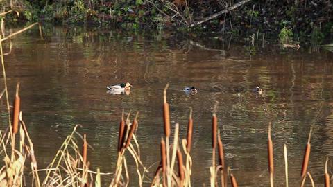 sleeping ducks Stock Video Footage