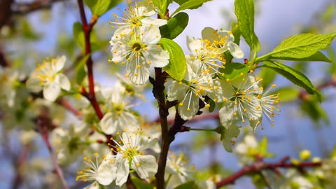 flowering plum Footage