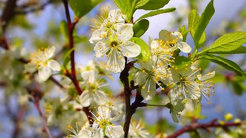 flowering plum Stock Video Footage
