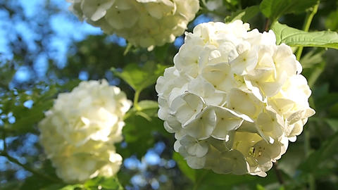 white flowers Stock Video Footage