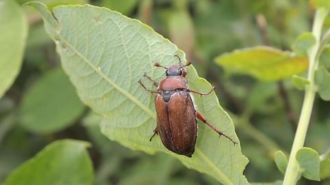 beetle Stock Video Footage