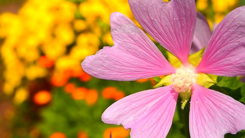pink flower Stock Video Footage
