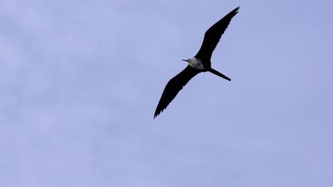 Frigate Seabird Gliding on Open Wings Stock Video Footage