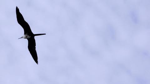Frigate Seabird Gliding on Open Wings Footage