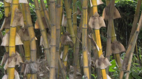bamboo Footage