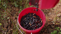 bucket with blueberries Stock Video Footage