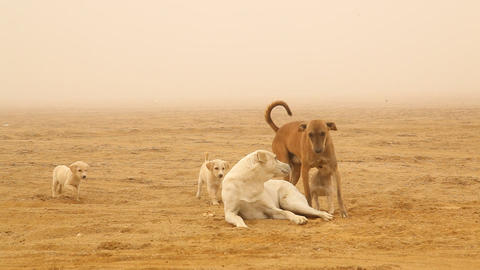 Baby Dogs Plays At Rural Area Desert stock footage
