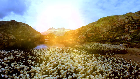 Beautiful cotton field flowers at mountain lake scenery aerial view Live Action