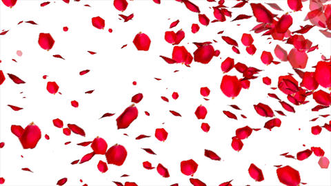 Falling Rose petals on white background Footage