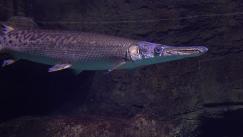 Pike floating under water 4K video Footage
