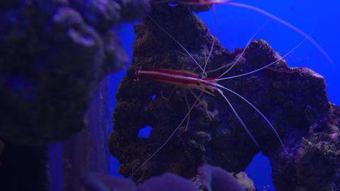 Alive shrimp under water 4K video, blue background Footage