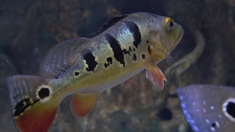 Striped fish hovers under water 4K close up video Footage