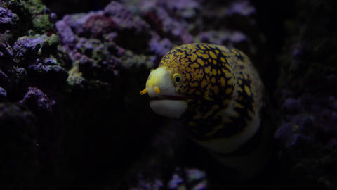 Yellow spotted moray in the rocks under water 4K video Footage
