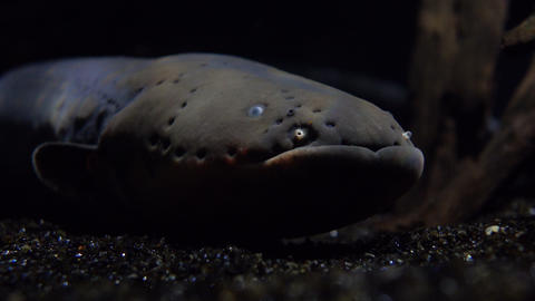 Big electric eel floating under water 4K video Footage