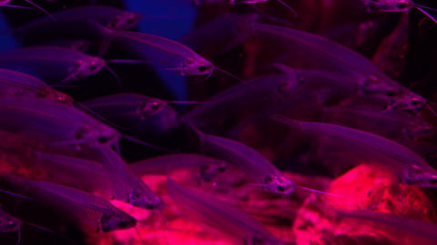 Fish school of transparent glass catfishes under water 4K video Footage