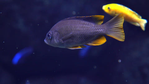 Blue fish with yellow fins floating under water 4k close up video Footage