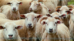 Flock Of Sheep Looking At The Camera Footage