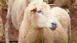 Sheep Looking Around Footage