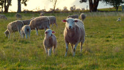Ewe and Lamb Standing In A Field Footage