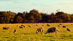 Flock Of Sheep Grazing In A Field In The Late Afternoon Footage