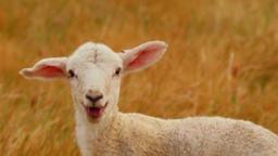 Newborn Lamb Looking At Camera Bleating Footage
