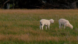 Twin Lambs Grazing In A Field ภาพวิดีโอ