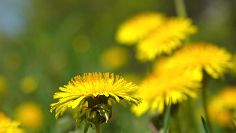 Yellow dandelions trembling in the wind 4K video Footage