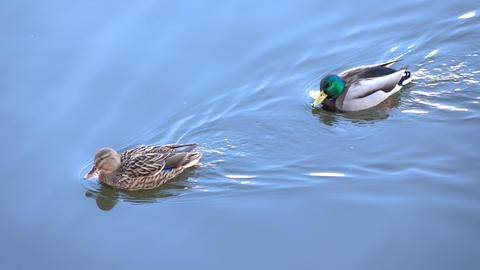4K footage of floating drake and duck with blue sunny sky reflection on water Footage