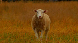 Wiltipoll Lamb Standing In A Dry Field Footage