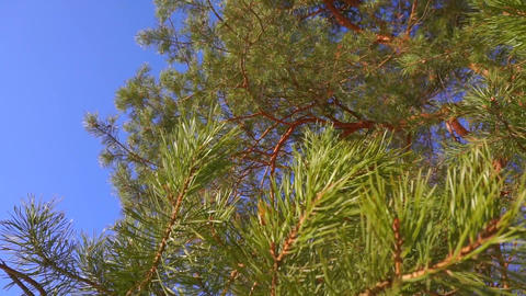 Pine branches with needles swinging against sunny blue sky, slow motion video Footage
