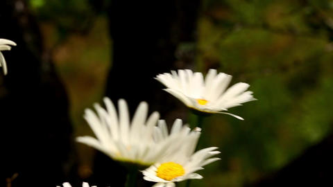 Close Up Of Daisy White Flowers Footage