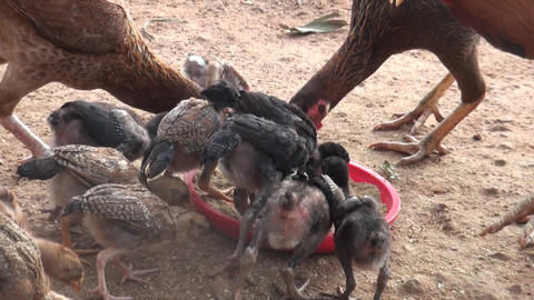 Hen feeding on the farm in . A group of pasture raised chickens peck for feed on Footage