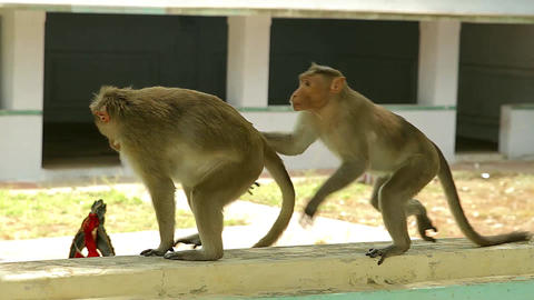 monkeys mating-Bonnet Monkeys Macaca radiata mating on top of a farm house side Live Action