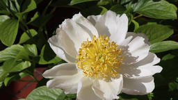 White peony blowing in the wind Footage